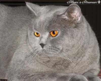 ФОТО БРИТАНСКИХ КОШЕК, КОТЯТ и КОТОВ, РОЖДЕННЫХ В ПИТОМНИКЕ ... британский голубой кот ELVIS Tamaky*RU , на фото 1 мес.