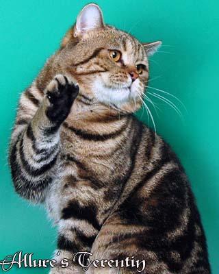 Британский кот окраса черный мрамор